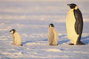 Emperor Penguin and Young by DLILLC