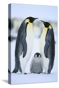 Emperor Penguin Family by DLILLC