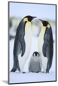 Emperor Penguin Family by DLILLC