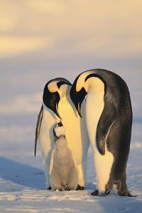 Emperor Penguin Parents with Baby by DLILLC