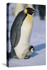 Emperor Penguin Warming its Baby by DLILLC