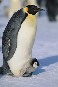 Emperor Penguin Warming its Baby by DLILLC