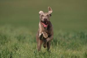 Excited Weimaraner Running in Field by DLILLC