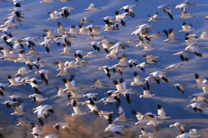 Flock of Snow Geese in Flight by DLILLC