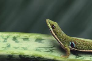 Four Spot Day Gecko by DLILLC