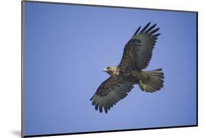 Galapagos Hawk in Flight by DLILLC