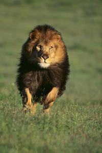 Galloping Lion by DLILLC
