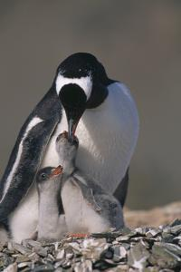 Gentoo Penguin with Chicks by DLILLC
