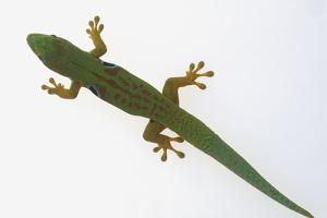 Giant Day Gecko by DLILLC