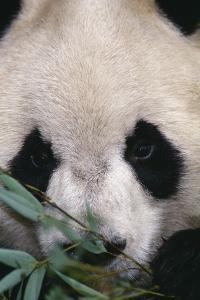 Giant Panda by DLILLC