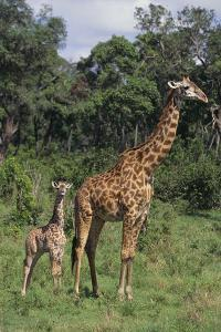 Giraffe Parent and Young by DLILLC