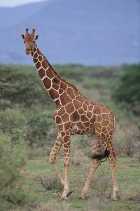 Giraffe Walking on the Savanna by DLILLC