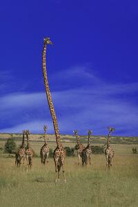 Giraffe with Extra Long Neck by DLILLC