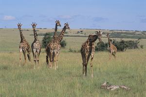 Giraffes Standing around an Injured Young Giraffe by DLILLC