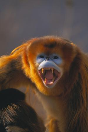 Golden Snub-Nosed Monkey Snarling