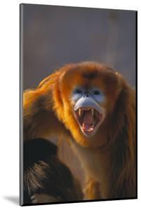 Golden Snub-Nosed Monkey Snarling by DLILLC