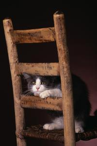 Gray and White Cat Looking through Wood Chair by DLILLC