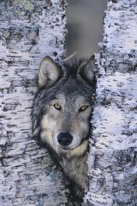 Gray Wolf Hiding in Trees by DLILLC