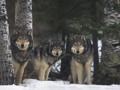 Gray Wolves in Forest