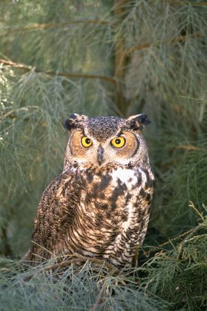 Great Horned Owl in Meadow