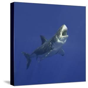 Great White Shark by DLILLC