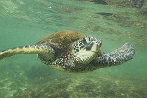 Green Sea Turtle by DLILLC