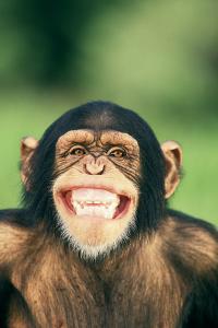 Grinning Chimpanzee by DLILLC