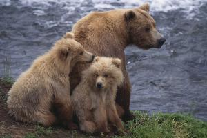 Grizzly Cubs with Mother by River by DLILLC