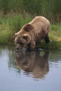 Grizzly Wading in Stream by DLILLC