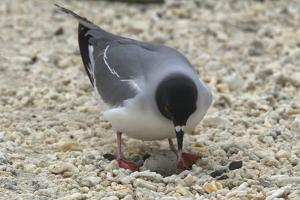 Gull Protecting Egg by DLILLC