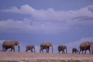 Herd of Elephants by DLILLC