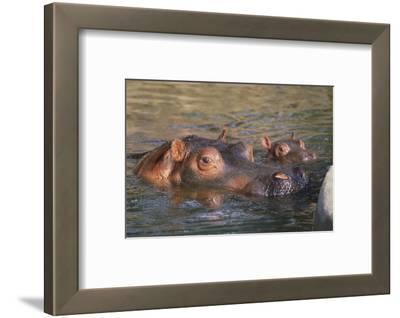 Hippopotamus and Young Cooling in Fresh Water