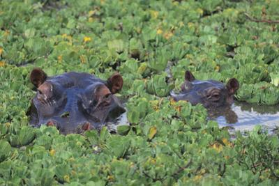 Hippopotamus by DLILLC