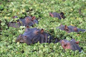 Hippopotamuses Hiding in Leaves by DLILLC