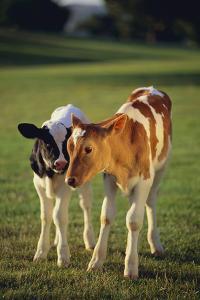 Holstein-Jersey Mix Calf and Holstein Calf by DLILLC