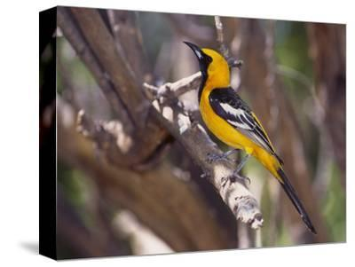 Hooded Oriole on Branch