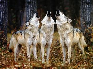 Howling Wolves by DLILLC