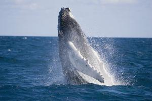 Humpback Whale Breaching from the Atlantic Ocean by DLILLC