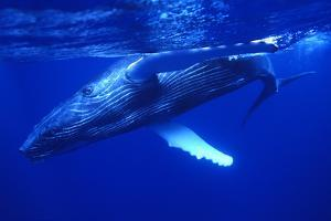 Humpback Whale Swimming Underwater by DLILLC