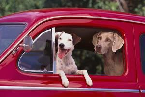 Jack Russel and Weimaraner Sitting in a Car by DLILLC