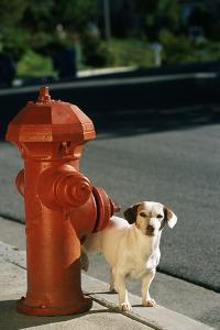 Jack Russell Terrier Urinating on Fire Hydrant by DLILLC