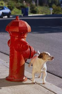 Jack Russell Terrier by DLILLC