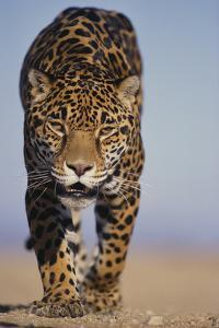 Jaguar by DLILLC