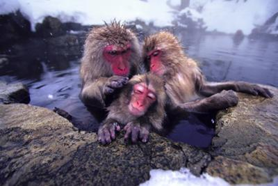 Japanese Macaques in Hot Spring by DLILLC