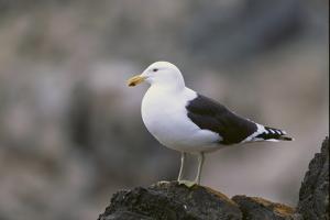 Kelp Gull on a Rock by DLILLC