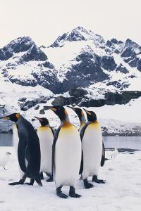 King Penguins Looking in Same Direction by DLILLC