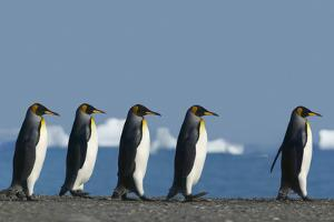 King Penguins Marching by DLILLC