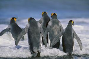 King Penguins by DLILLC