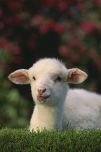 Lamb in Grass by DLILLC