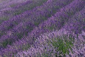 Lavender Field by DLILLC